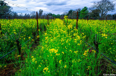 napa valley vineyard, northern california, wild mustard