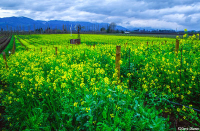 napa valley, northern california, wild mustard