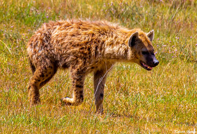 hyena walking, ngorongoro crater, tanzania