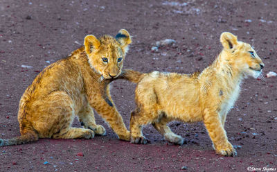 ngorongoro crater, tanzania, lion cubs playing