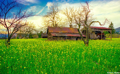napa valley, mustard field, northern california, old buildings
