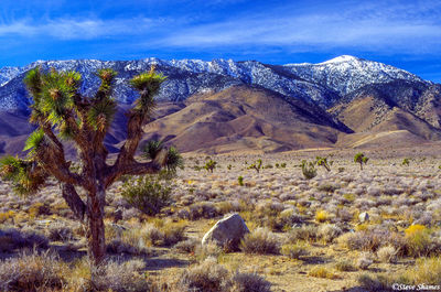 highway 395, southern california, lone cactus, snow capped mountains