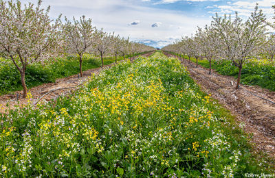 sacramento valley, farmlands, wild vegetation, orchard in bloom