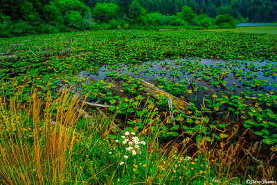 oregon coast, lush marsh