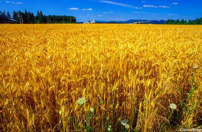 northern oregon, field of wheat