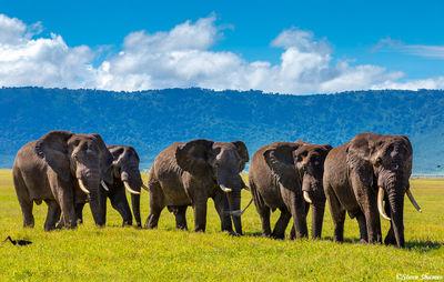 bull elephants, ngorongoro crater, tanzania