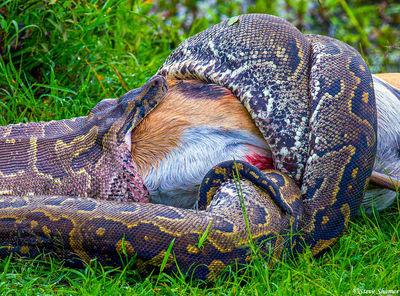python eating gazelle, masai mara, national reserve, kenya