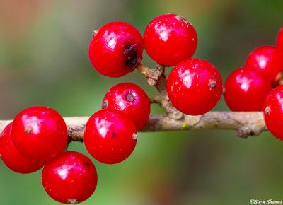 canaveral national seashore, florida, red berries