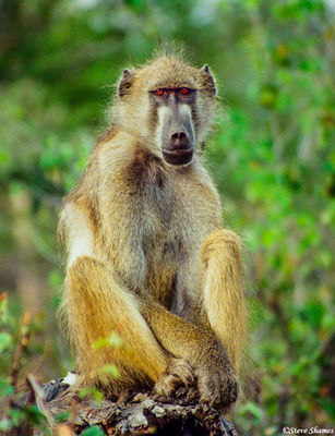 chobe national park, botswana, baboon, red eyes