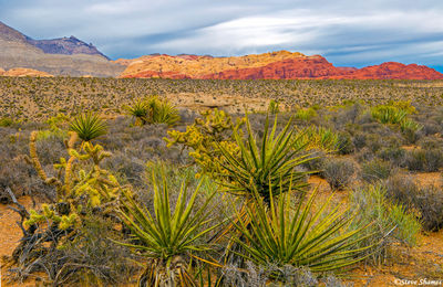 red rock canyon, nevada, desert foliage