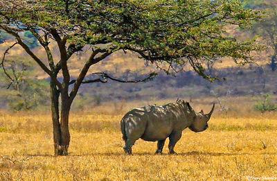 rhino, lake nakuru, national park, kenya