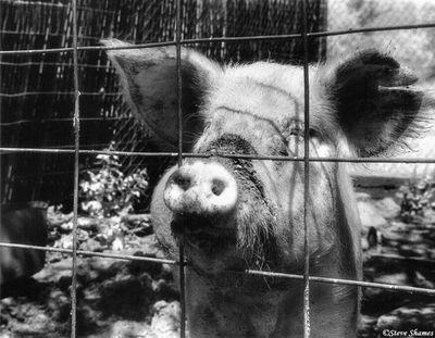 rio linda pig, local resident