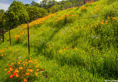 wooden valley, california, state flower, poppy