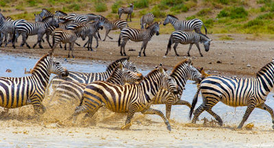 serengeti, national park, tanzania, running zebras, waterhole