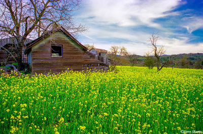 napa valley, northern california, rural scene, mustard in bloom