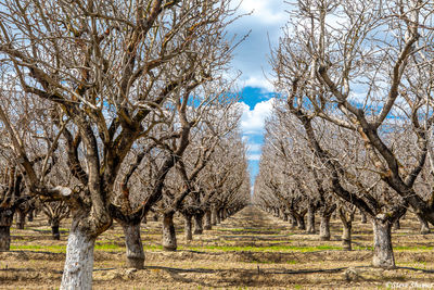 sacramento valley orchard, yolo county, farmlands