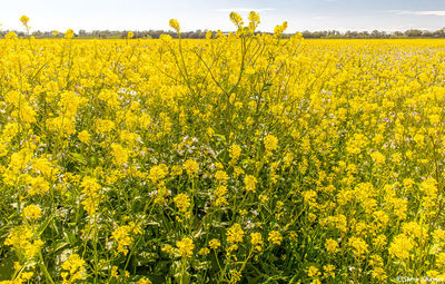 sacramento valley, farmlands, schoolhouse road, wild mustard