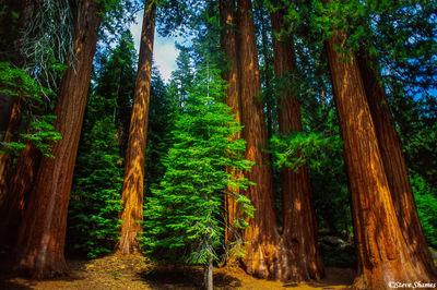 sequoia national park, grove, older trees