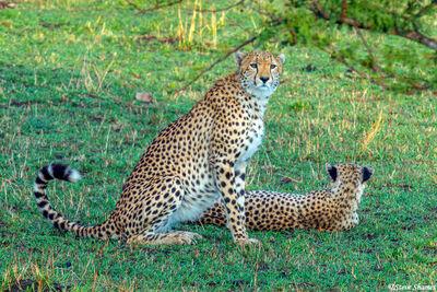 Serengeti-African Cheetah