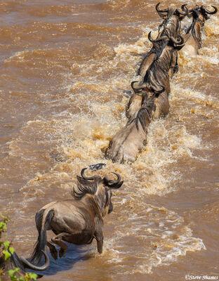 Serengeti-African Wildebeest Jumping