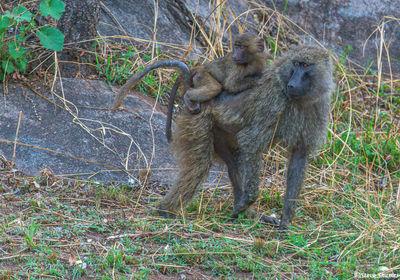 Serengeti-Baboon Baby