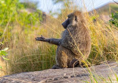 Serengeti-Baboon Begging