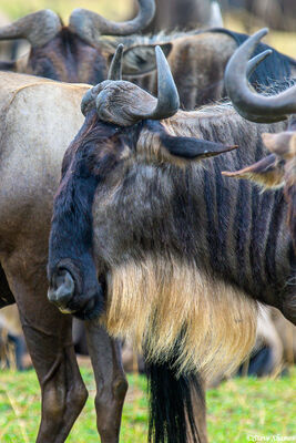 Serengeti-Bearded Gnu