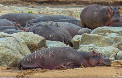 Serengeti-Bull Hippopotamus