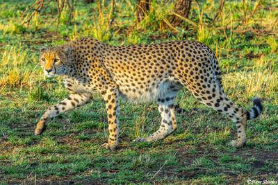 Serengeti-Cheetah on the Prowl