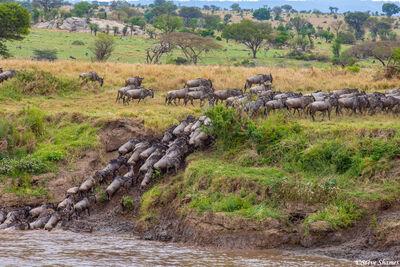 Serengeti-Climbing Out Of River
