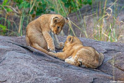 Serengeti-Cubs Playing