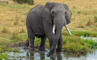 Serengeti-Elephant in Marsh
