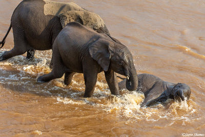 Serengeti-Elephant Calf in River