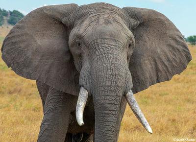 Serengeti-Elephant Close Up