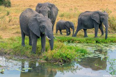 Serengeti-Elephant Family at Marsh