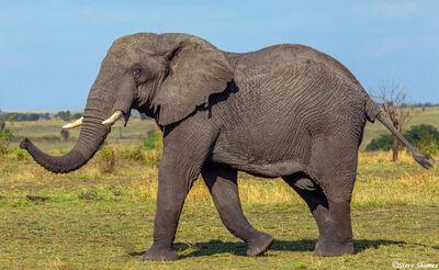 Serengeti-Elephant Strolling