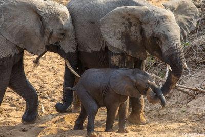 Serengeti-Elephants Protecting Calf