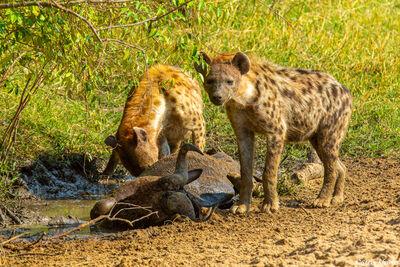Serengeti-Hyena Eating Wildebeest