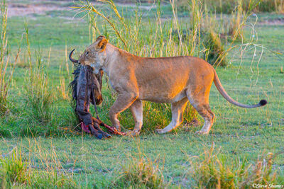 Serengeti-Last Nights Kill