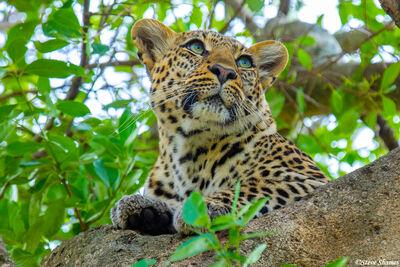 Serengeti-Leopard Face