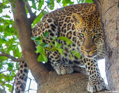 Serengeti-Leopard Hiding