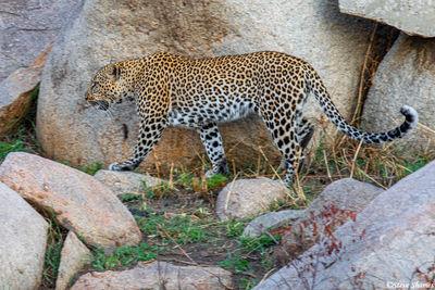 Serengeti-Leopard Walking