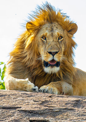 Serengeti-Lion Close Up
