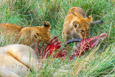 Serengeti-Lion Cubs Eating