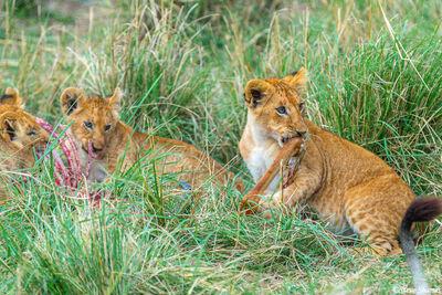 Serengeti-Lion Cubs Mealtime