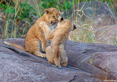 Serengeti-Lion Cubs Playing