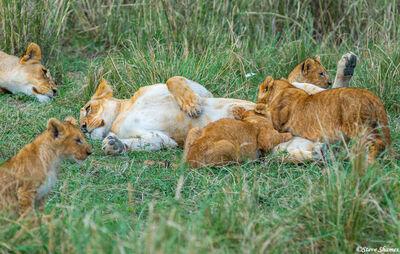 Serengeti-Lion Family Life