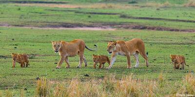 Serengeti-Lion Family on the Move
