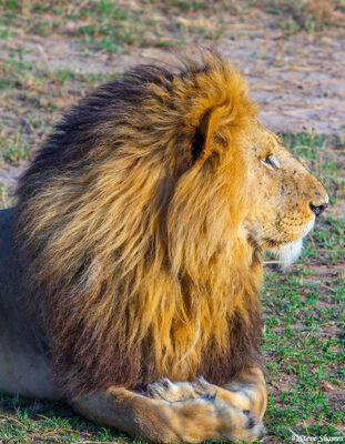 Serengeti-Lion Profile