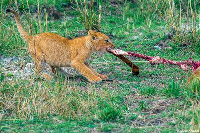 Serengeti-Lion Tug Of War